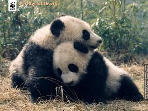 Des photos de pandas