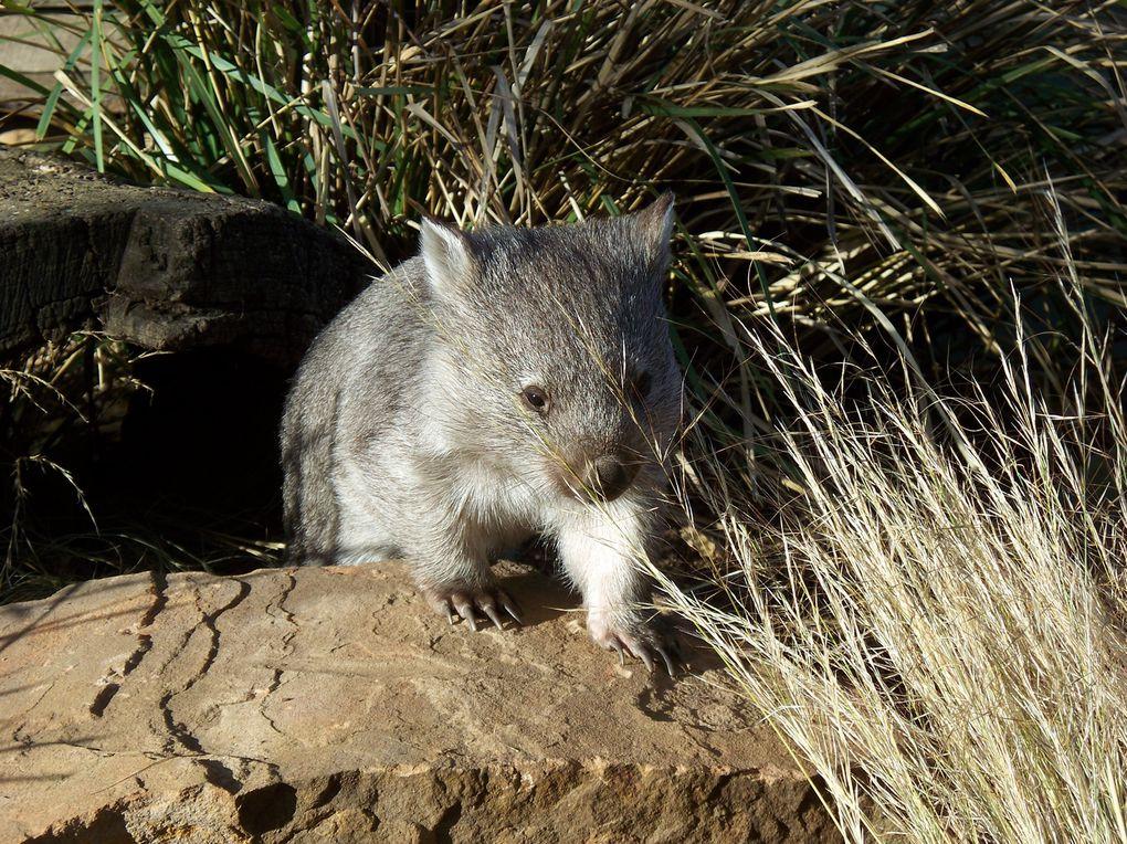Un parc où les Wallabis se promènent, les diables hurlent et les koalas se laissent caresser entre deux siestes.... Le paradis!