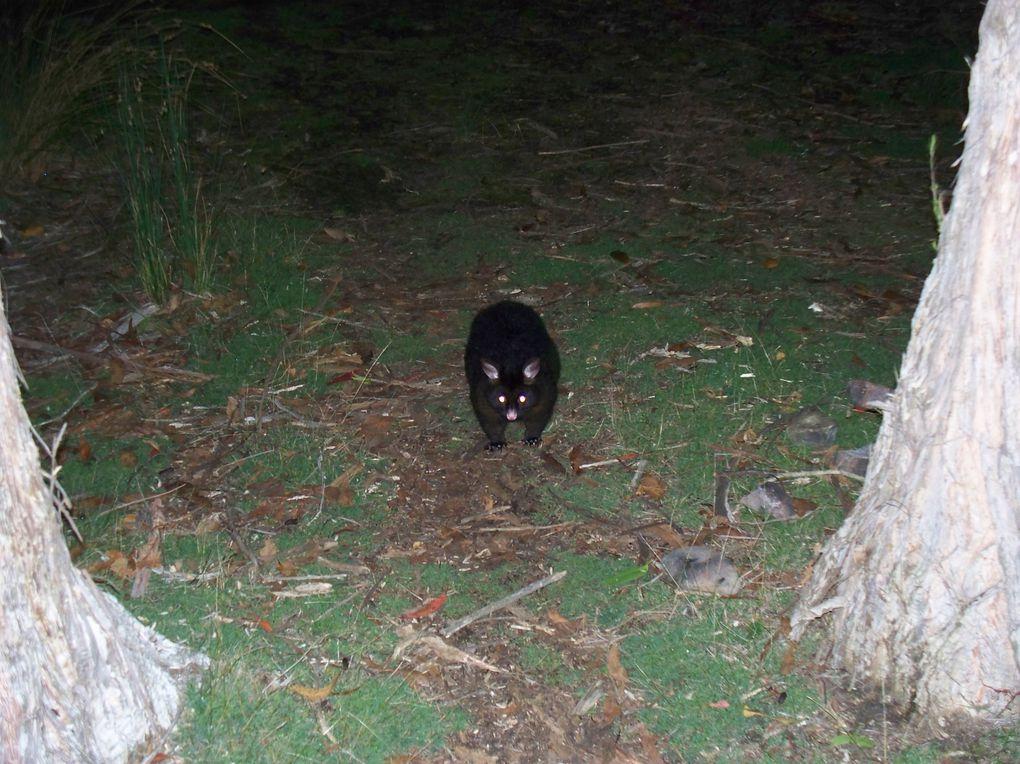 Reserve naturelle. Une forêt ancestrale, où on trouve des arbres parmis les plus grands du monde, et plein d'animaux&#x3B; Ici vous verrez des opossums, un turbochicken et des pademelon (minuscules kangourous)