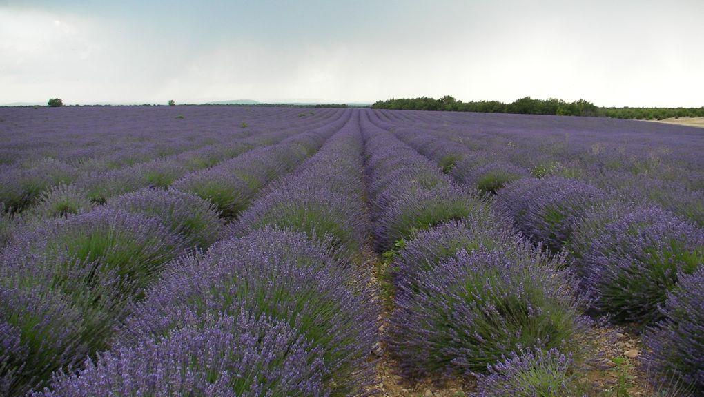 Images et paysages de champs de lavandes et lavandins bleu-violet sur le plateau de Valensole dans le Parc régional naturel du Verdon dans les Alpes de Haute Provence entre montagne et méditerranée, avec la vallée de l'Asse au Nord, Moustiers Sai