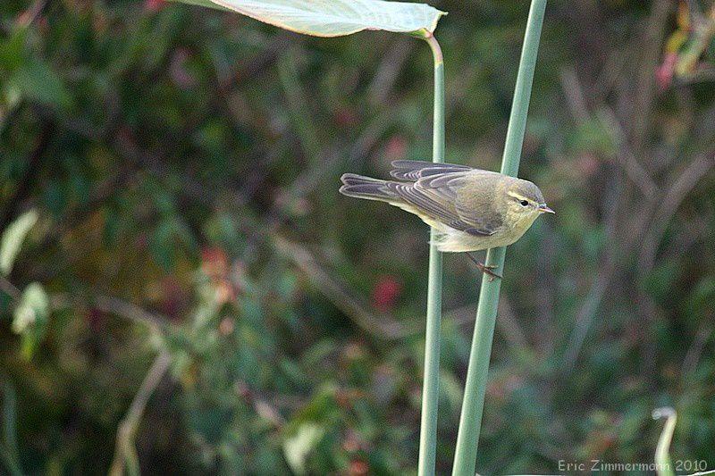 des oiseaux des forêts, discrets et sautillants donc difficiles à photographier