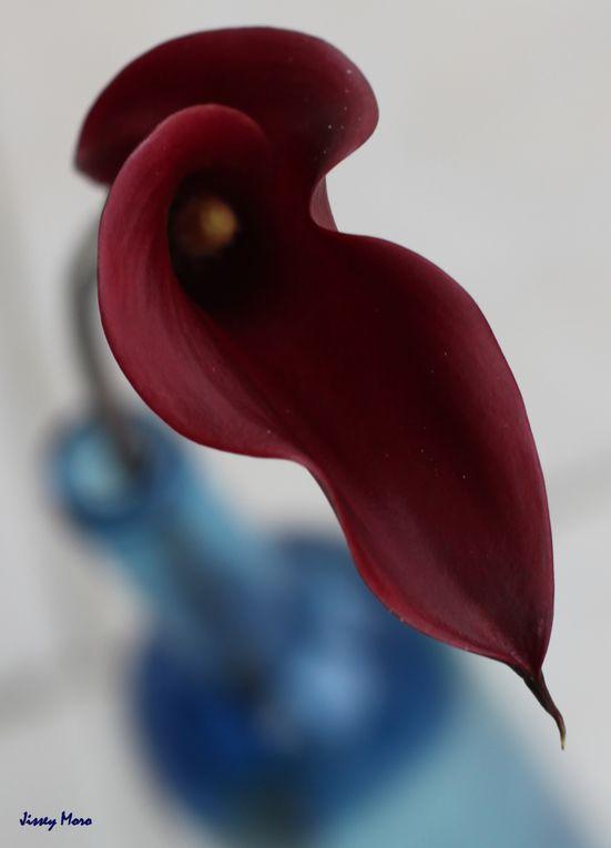 Ce nom de Calla Lily est un hommage à Robert Mapplethorpe qui donna ce titre à ses photographies d'arum.Cette recherche autour de cette fleur aux couleurs souvent charnelles et ambigues se veut un prolongemnt de son travail. Photographiées uniquem