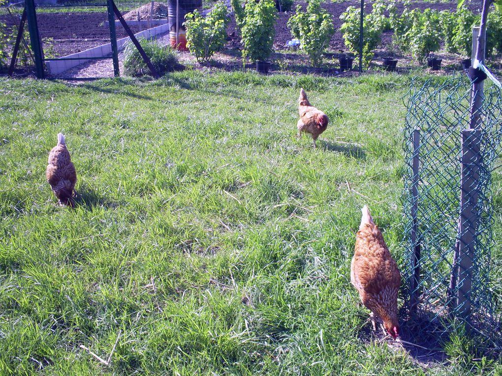 Nos animaux : notre chat Kiki , nos poules , nos 2 agneaux !
