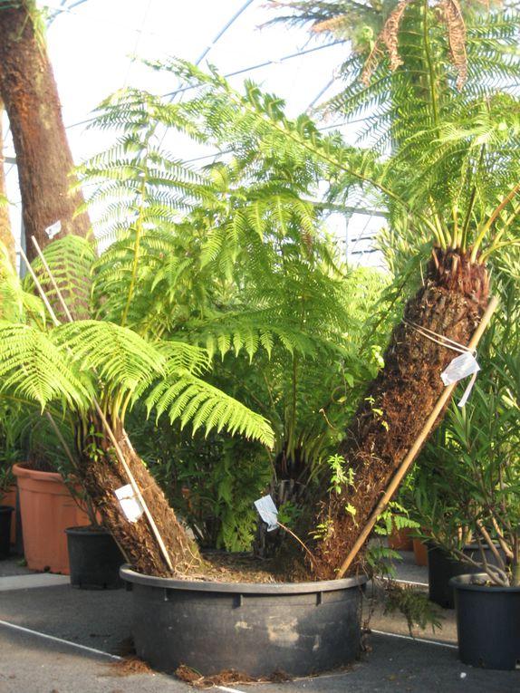 Arbor minéral paysagiste à Vannes rayonne dans le golfe du morbihan (56) Auray, Arradon, Baden, Larmor Baden, Séné, Theix, Elven, St avé, st nolff.Les fougères arborescentes sont originaires d'Australie (Tasmanie)
