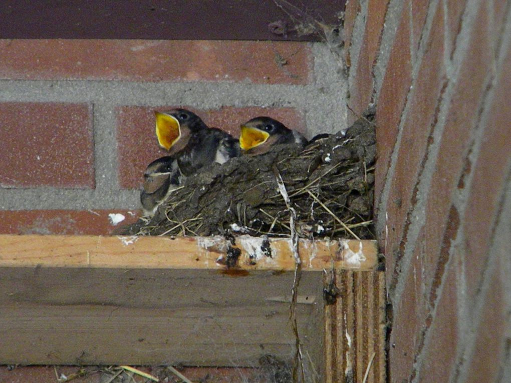 A photo diary of a family of Swallows that chose to live in the dog pen