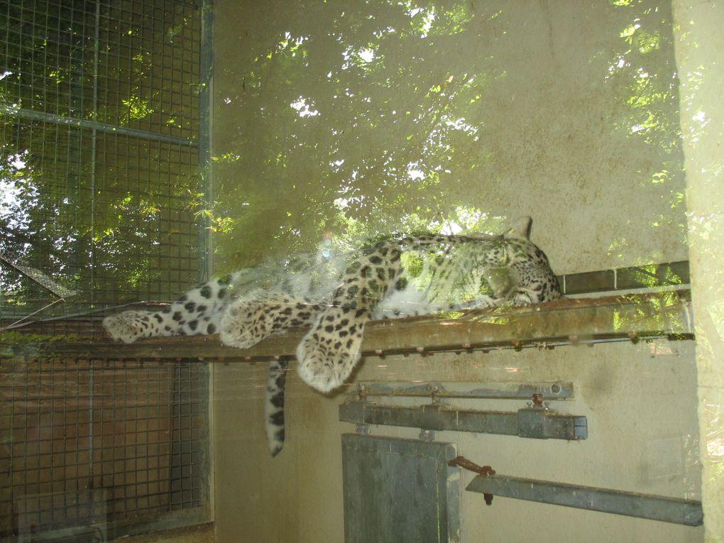 Photos des félins du Parc (lion, lion blanc, tigre, tigre blanc, panthère, puma, couguars)