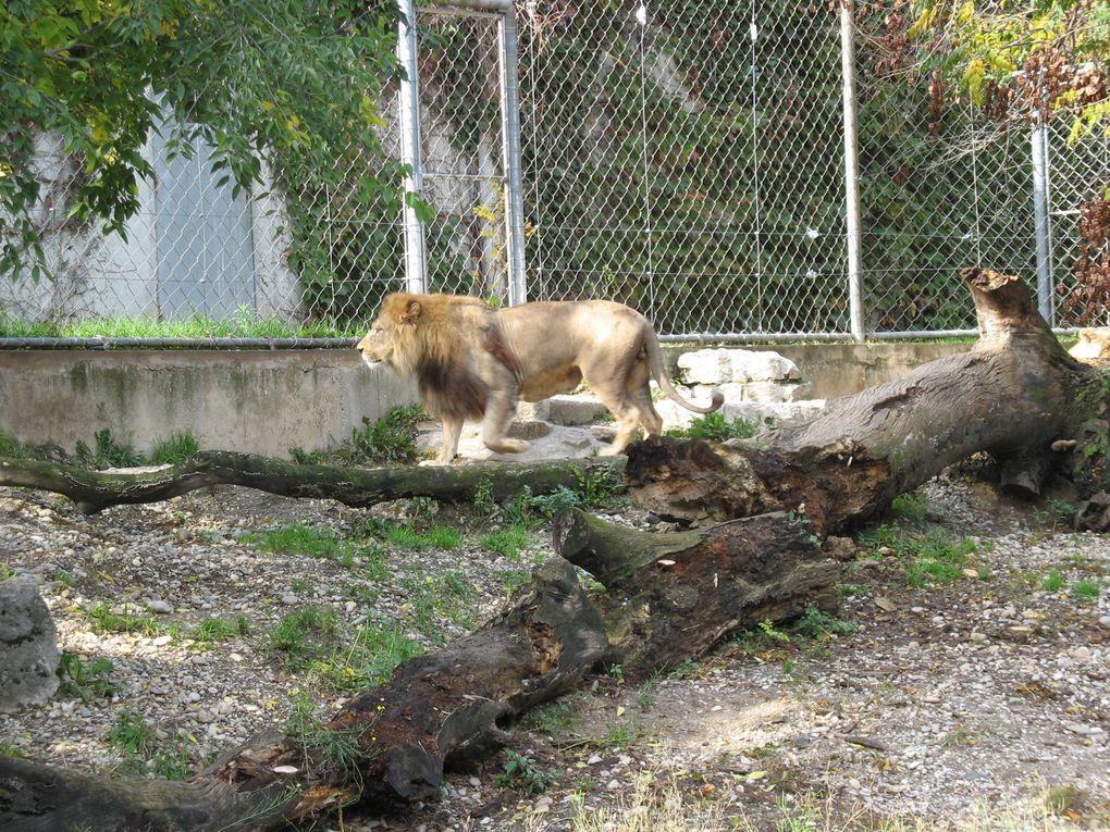 Photos du lion et de sa lionne, de tigres et d'une panthère qui se trouvent à Lyon au parc de la tête d'Or.