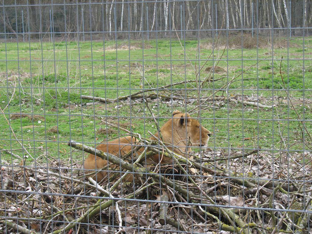 Photos de certains félins (Lions, Guépards, Léopards, Jaguars) pris au parc des félins.