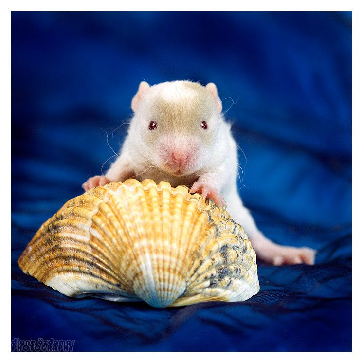 Diverses photos de rats domestiques
