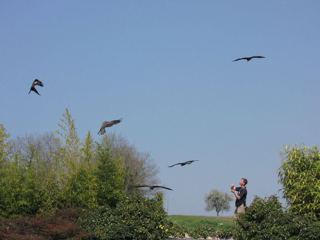 Ballet d'une cinquantaine de rapaces évoluant en vol libre au dessus de la tête des spectateurs au bord de la piscine à otaries, ZooParc de Beauval.