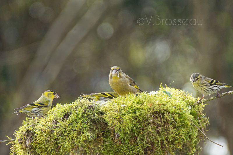 Album - oiseaux du jardin