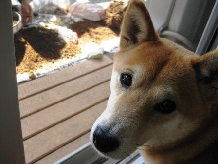 """*Toutes les photos dans """"La vie avec un Shiba Inu !""""  appartiennent à """"akishiba"""", l'auteur de ce blog."""