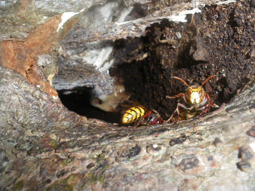 Vous trouverez des photos frelons européens le vespa crabo, des photos de ffrelons asiatiques vespa velutina,et des guêpes.