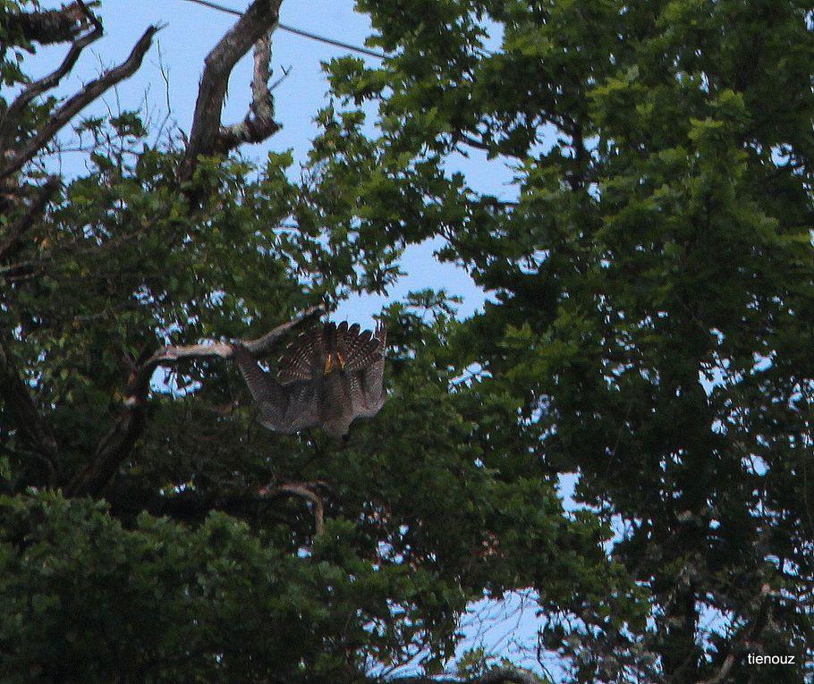 Ces photos sont prises sur une période de deux mois environ, du poussin au jeux aériens aprés l'envol.