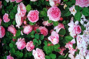 Album - Eté de Roses