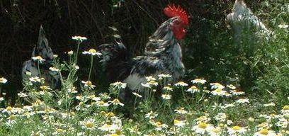 Découvrez et pourquoi pas aidez à sauver cette petite poule...