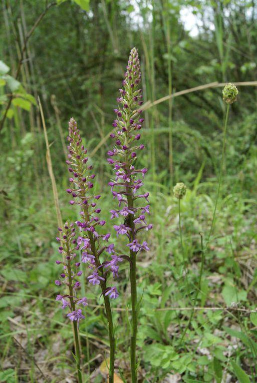 Orchidées de Lorraine en particuler