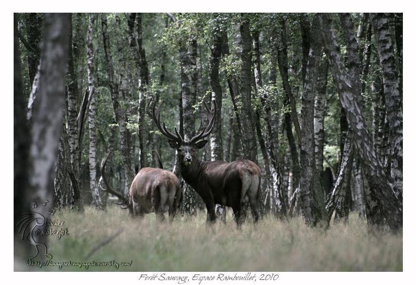 Voici quelques photos prise en 2010 dans la forêt sauvage de l'espace Rambouillet.L'espace Rambouillet est un parc situé dans les bois de...Rambouillet et qui se compose de 4 parties:la forêt des aigles, La forêt des cerfs, la forêt sauvage,