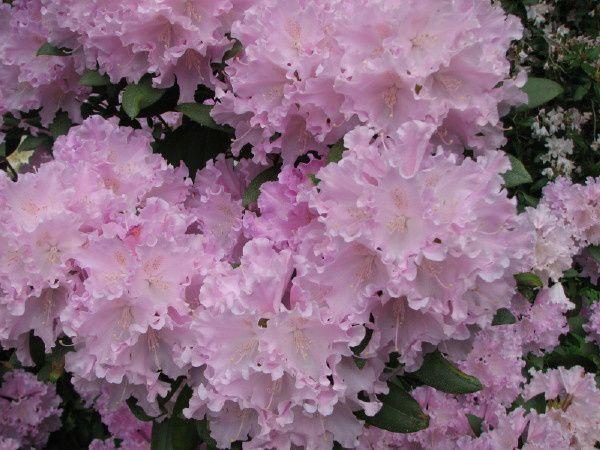 """Photos prises en mai 2008 à Hidden Acres, une """"ferme à rhododendrons"""" située sur la commune de Campbell River sur l'île de Vancouver au Canada."""