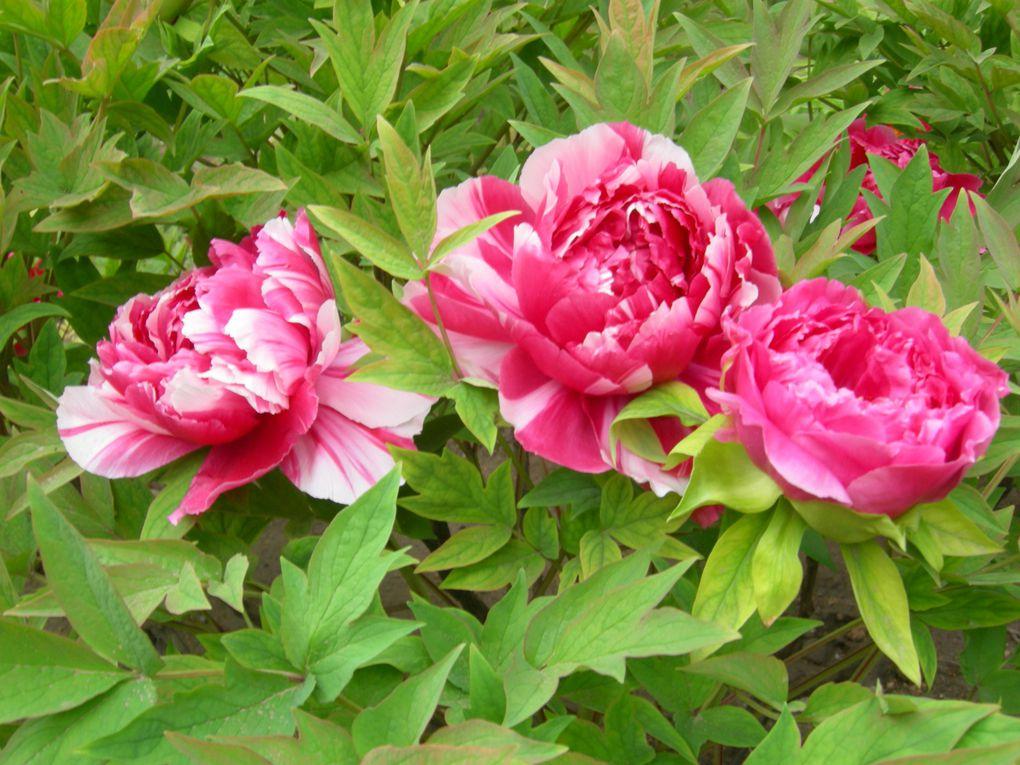 ... et aussi en ville : fleurs et arbres en fleurs de Pékin, de Tianjin, du Hebei, du Heilongjiang, du Shandong, de Mongolie intérieure, du Ningxia, du Gansu, du Qinghai et du Sichuan. Que cent fleurs s'épanouissent !