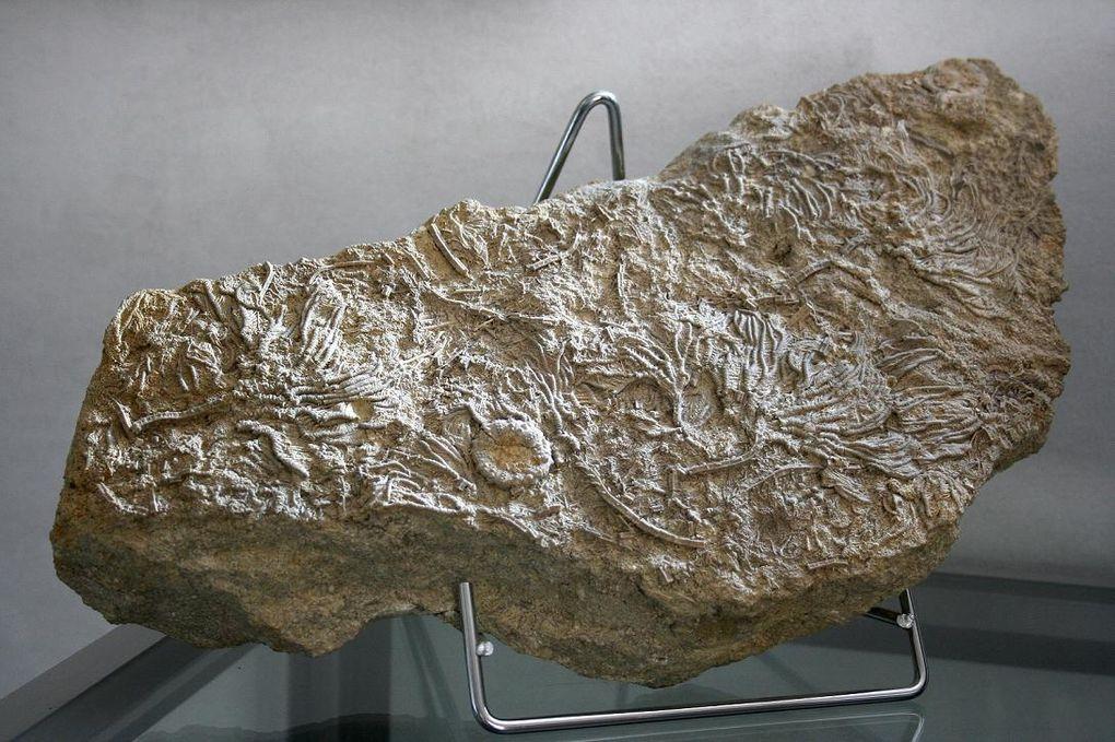 Robert LEUNISSEN, surnommé « Eifel Yéti », spécialisé dans les crinoïdes du monde entier, passe son temps libre à la recherche et la préparation de tous les fossiles qu'il découvre dans le Dévonien de l'Eifel (Allemagne).