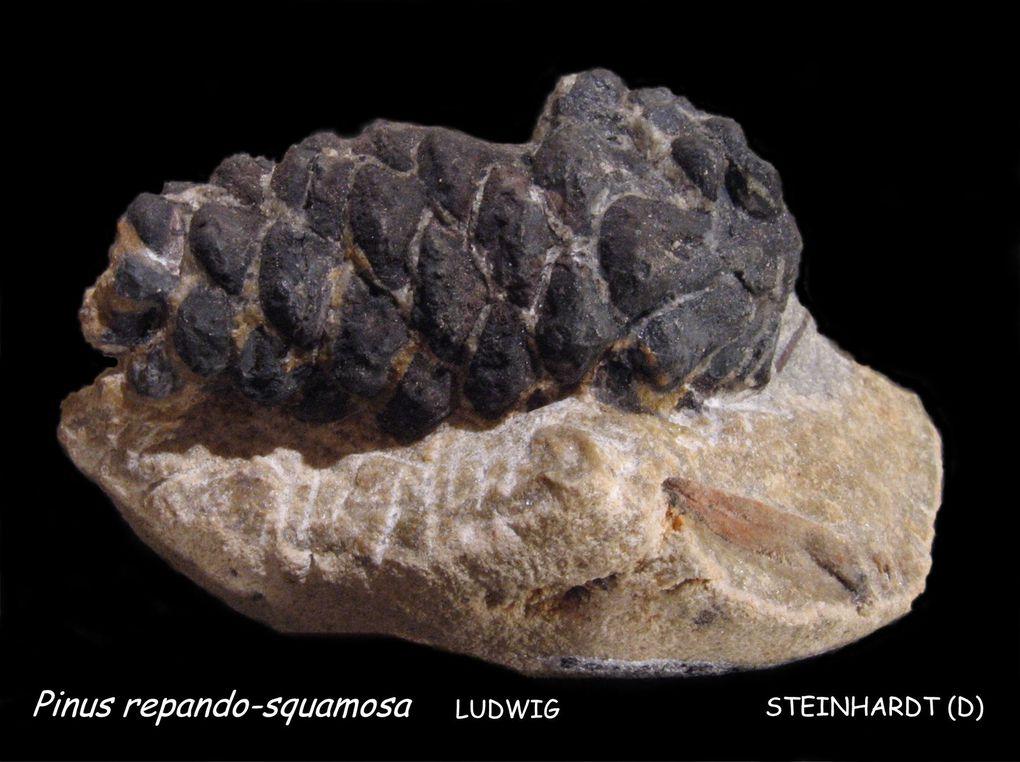 Dans cette sablière de l'Oligocène inf. (Rupélien) a été trouvé : cônes de conifères, feuilles, graines, bivalves, gastéropodes, terriers. Les fossiles sont dans des nodules de baryte qu'il faut casser pour en découvrir… peut être…