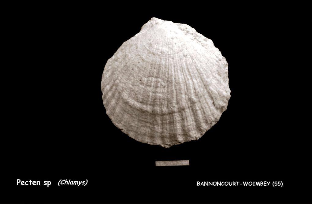 Ces fossiles provenant d'un récif corallien, datés de l'Oxfordien, ont été découverts lors des travaux du T.G.V. Est. Il s'agit d'une accumulation de fossiles (coraux, bivalves, gastéropodes, brachiopodes, oursins, crustacés, …).