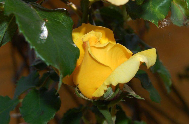 Album - Roses-du-jardin