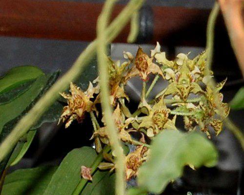 L'Amazone, situé à Nalinnes (Belgique)Monsieur et Madame Schmidt vous reçoivent dans le monde magique des orchidées hybrides ou botaniques leur site :www.amazoneorchidees.be