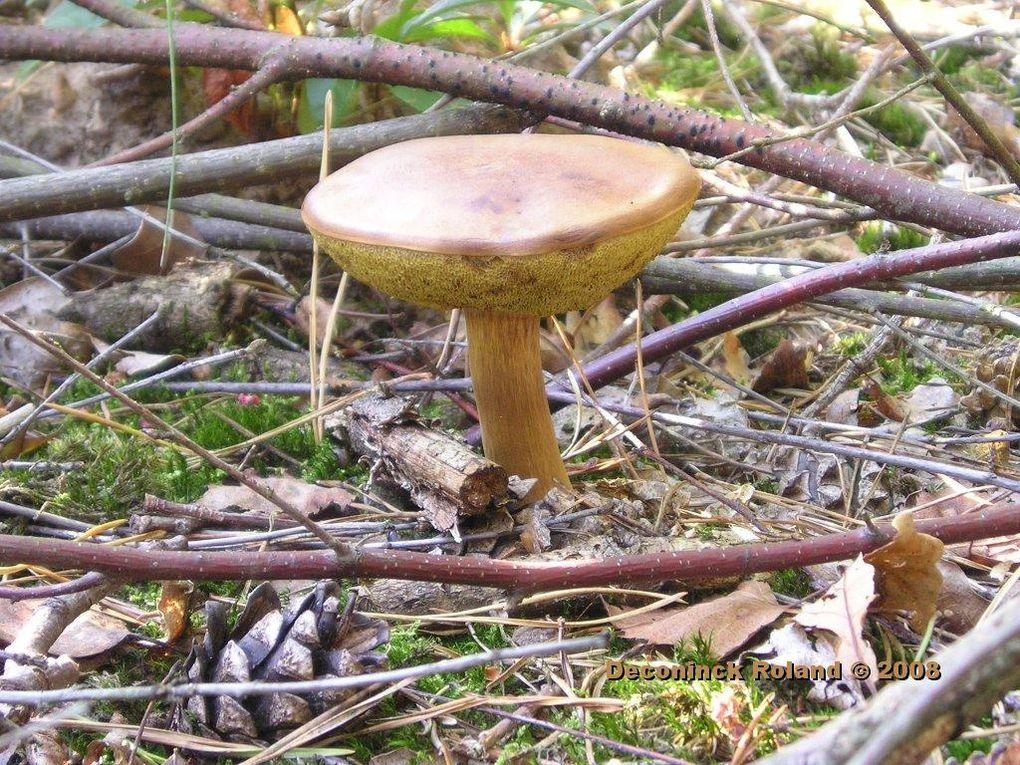 gros plan sur des champignons frequents en Brabant Wallon dans les bois de Villers la Ville et villages avoisinants