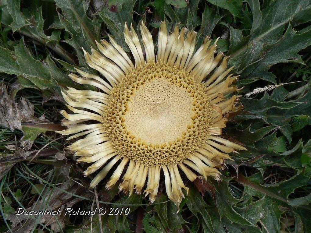 Ces fleurs ont été photographiées entre 2008 et 2010 près de Sixt,Chamonix,Tende.Les altitudes varient de 1200 à 2300 mètres.