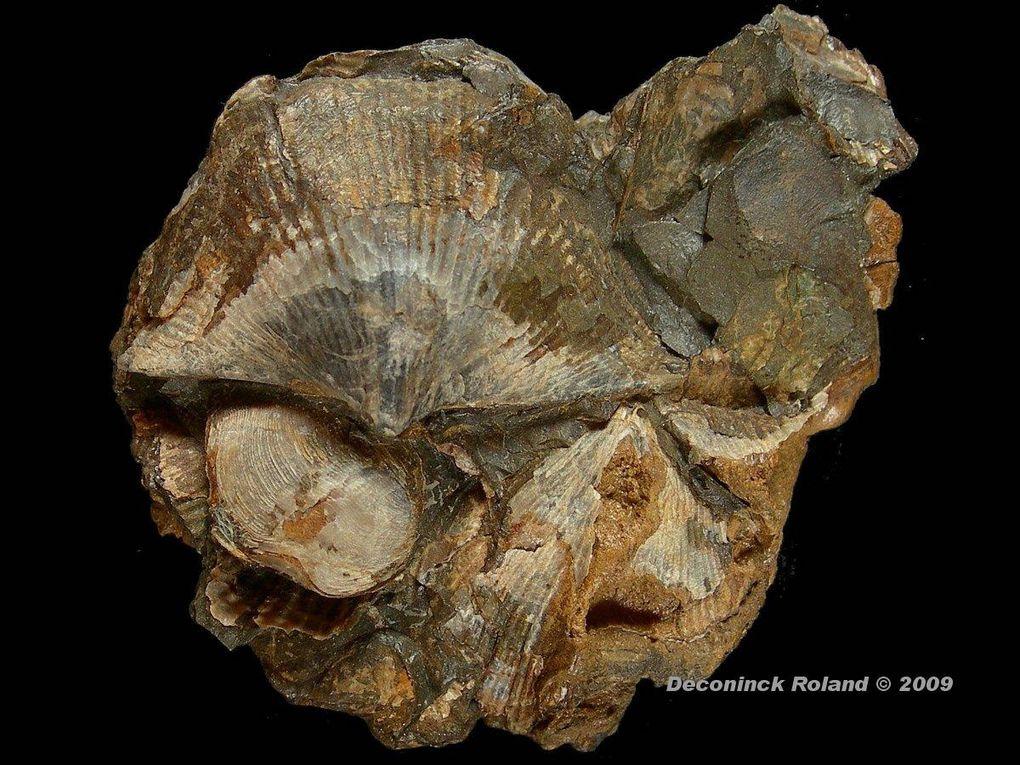 fossiles de la periode dévonniène.Ces organismes vivaient il y a 380 million d'année près des atols dans des mers peu profondes.