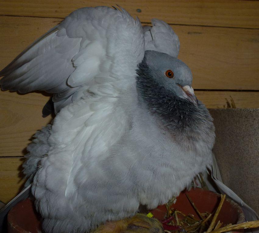 Album - Mes-pigeons