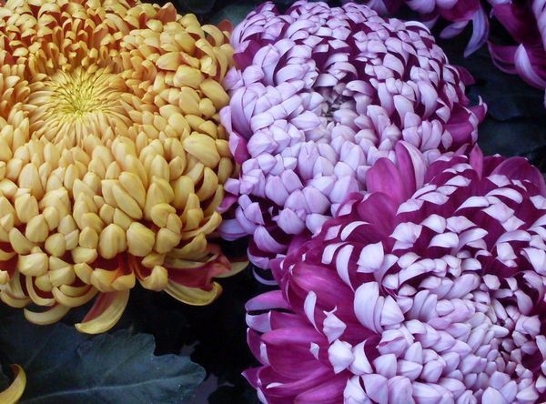 Album - chrysanthemes