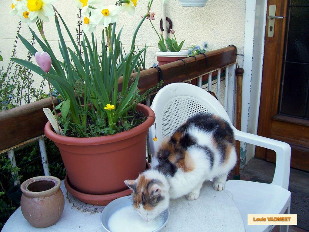 Des photos de Toupie, la belle squatteuse de mon jardin. Elle vient sur le pas de la porte de ma maison. Elle semble attendre quelque chose, elle a faim. Elle aime se blottir dans les jardinières : Toupie de printemps!