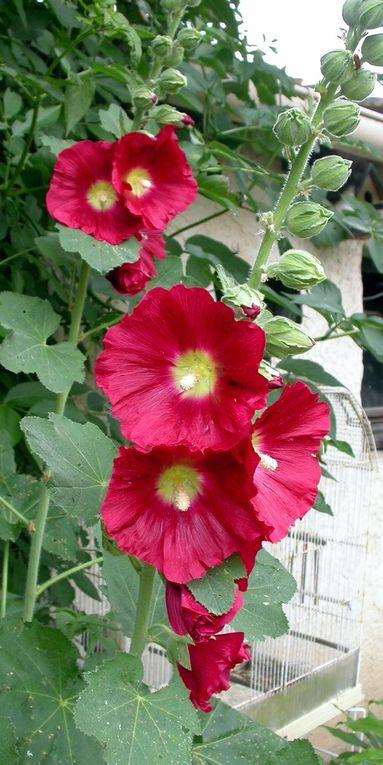 Telles des sentinelles, les roses trémières veillent sur le jardin. II y a bien longtemps qu'elles ont quitté l'île de Ré dont elles sont l'un des symboles. A chaque saison, elles changent. Grâce aux insectes butineurs, qui sont des créateurs