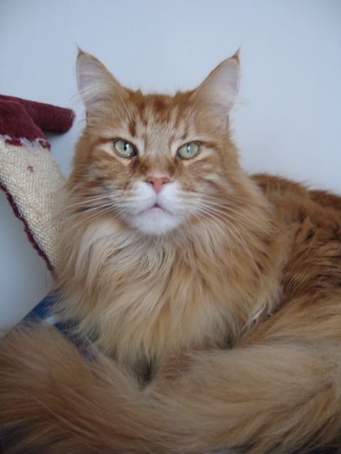 Baffy le chat Main-coon