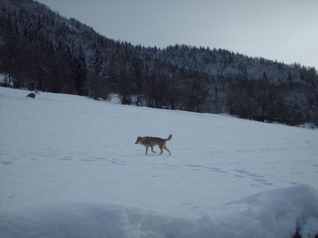 Dayak de la Combe Noire, Berger Blanc Suisse. Le gardien paisible des lieux, et de ses habitants.