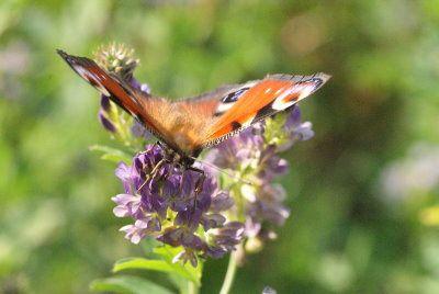 A Foug à Harouin, le long de la rigole d'alimentation du canal&#x3B; quantité de luzerne et de luzerne lupuline et beaucoup de papillons dont le Paon du jour