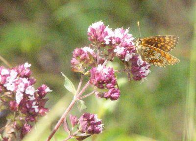 J'ai remarqué dans ces jours de folies des papillons qu'il allaient surtout sur l'origan qui est en pleine floraison et sur les chardons