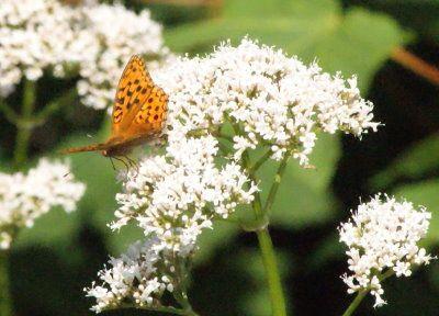 C'est comme pour la zygène, un papillon trés patient et calme, un bon modèle.