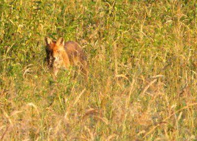 Cela faisait deux ans que je n'avais pas croisé un renard roux de jour alors que l'hiver, je voyais beaucoup d'empreintes dans la neige. C'est fait et cela m'a fait plaisir car vous le savez Zaza m'a surnommé Goupil ...