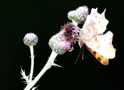 Ce papillon, il y en a peu dans mon secteur, c'est le deuxième que je rencontre.