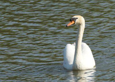 Sur un des étangs de Dommartin-les-Toul j'ai pu observer assez longtemps ce cygne à l'approche en m'étant mis simplement à l'ombre pour être moins visible.