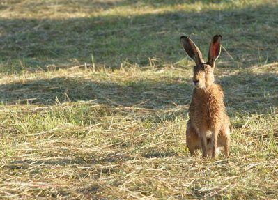 J'ai repéré les deux lièvres à 800 mètres, ils étaient sur le chemin, donc facile à voir. Ils sont aller manger dans une prairie fraichement coupée le premier d'est vite caché dans les herbes un bon moment et le deuxième pas de suite et en