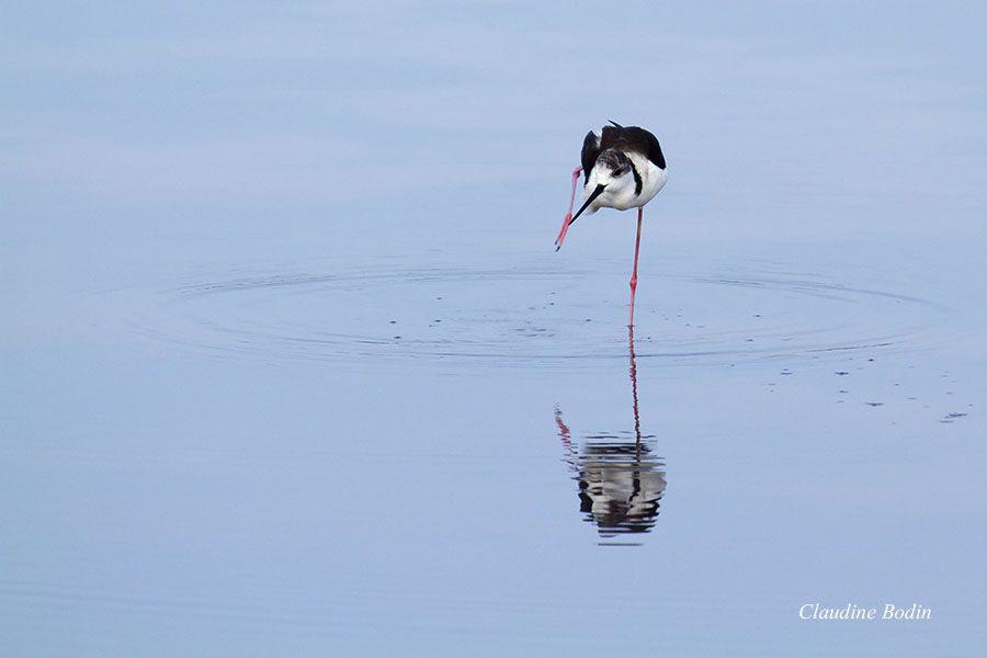 Charadriiformes. Eaux peu profondes. Migratrices. Ses longues pattes lui permettent de chercher sa nourriture dans des eaux plus profondes que d'autres limicoles. S'alimentent à la surface de l'eau ou dans la végétation.