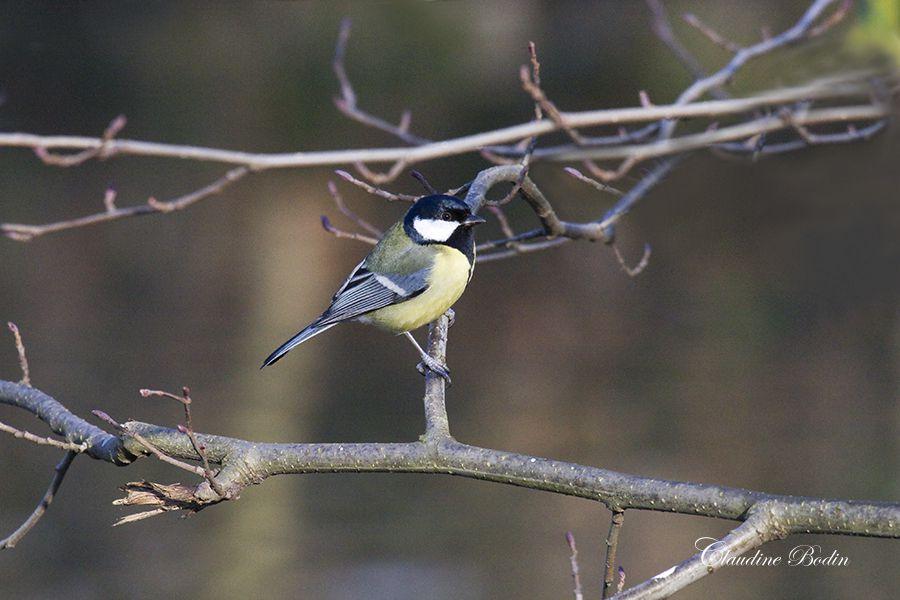 Beaucoup de passereaux sont des oiseaux chanteurs &#x3B; tous ouvrent leur bec pour se faire nourrir lorsqu'ils sont au nid. Ils ont quatre doigts, trois vers l'avant et un vers l'arrière (le pouce.