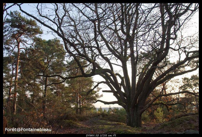 Les arbres remarquables de la forêt de Fontainebleau.