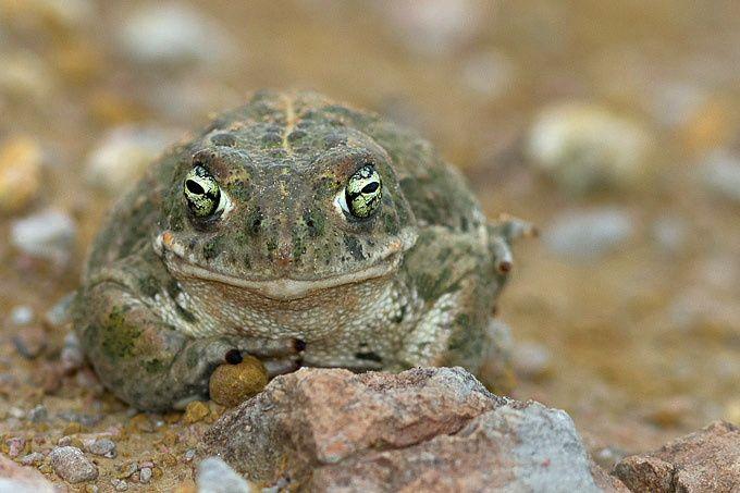 Les grenouilles, crapauds, rainettes, salamandres, tritons.