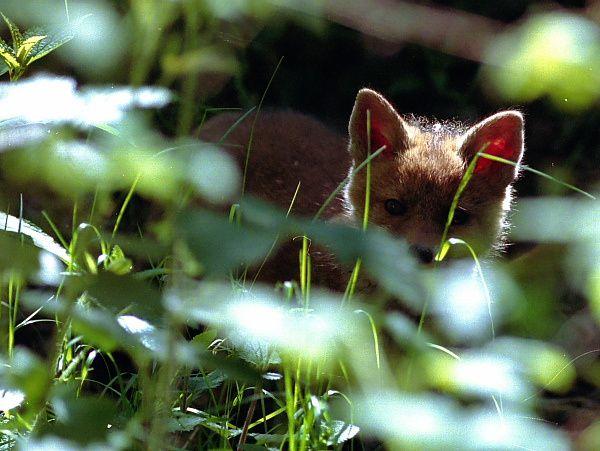 La forêt de Fontainebleau en a de nombreux. Biches, cerfs, chevreuils, sangliers, blaireaux, renards sont les hôtes de ce grand massif forestier.